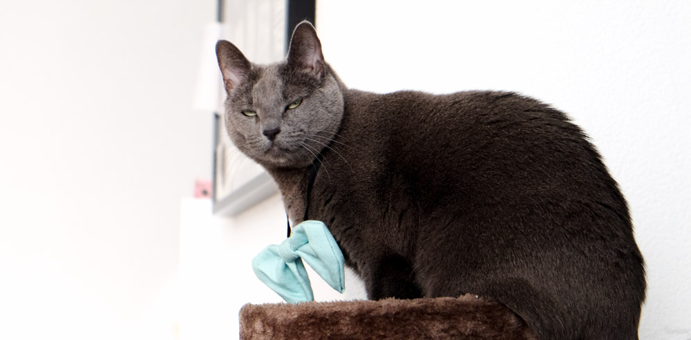 Russian blue with bowtie
