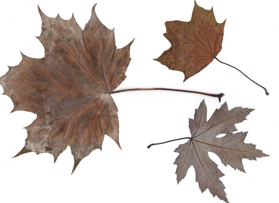 Achterkant van de gedroogde bladeren