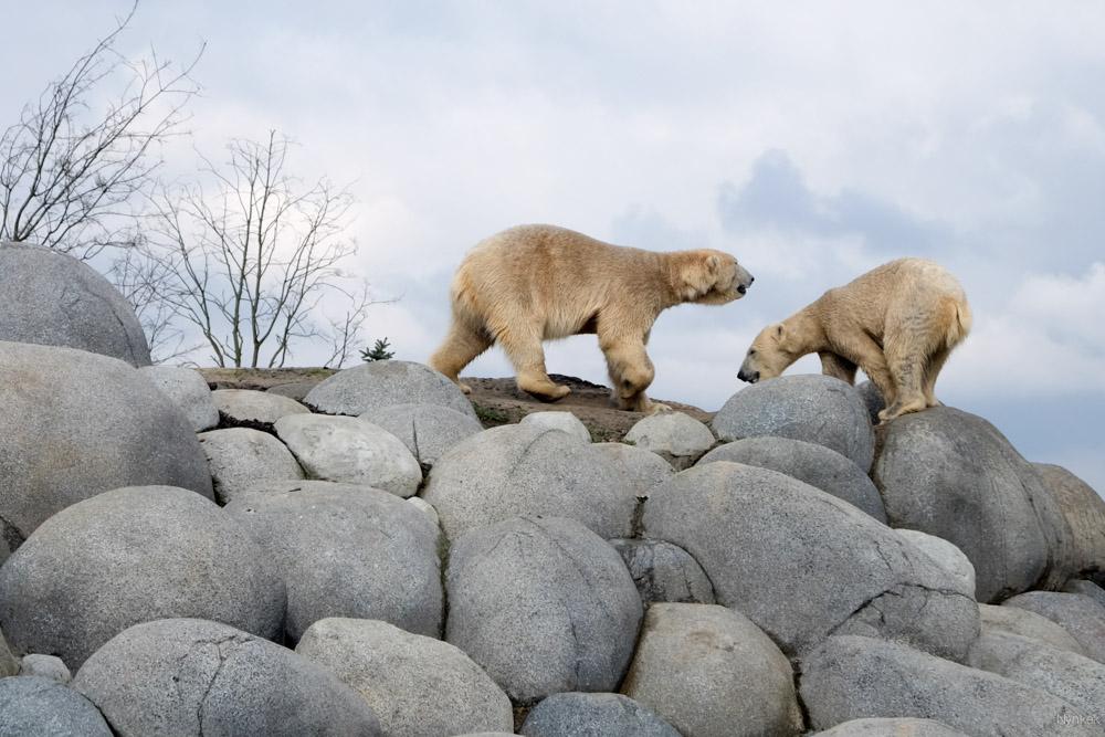IJsberen hoeven van mij niet in een dierentuin.