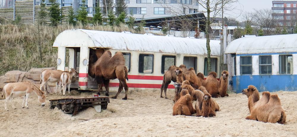 Kamelen en Onagers